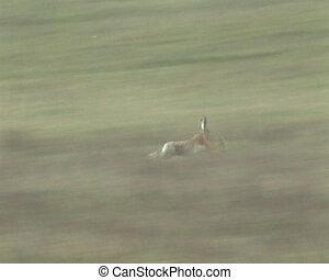 Wild hare rabbit frightened by dog running through fields....