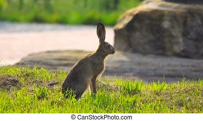 wild hare sits waiting for escape