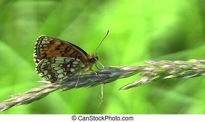 Wild Heath Fritillary Melitaea athalia - Wild Heath...