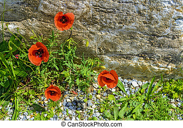 wild herbs and corn poppies