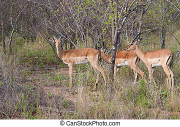 Wild herd of antelope  in national Kruger Park in UAR,natural themed collection background, beautiful nature of South Africa, wildlife adventure and travel