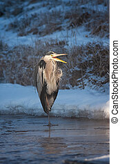 Wild heron standing on ice in winter early in the morning ...