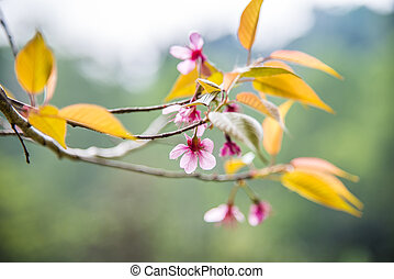 Wild Himalayan Cherry flower blossom on the tree1