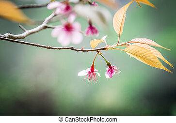 Wild Himalayan Cherry flower blossom on the tree2