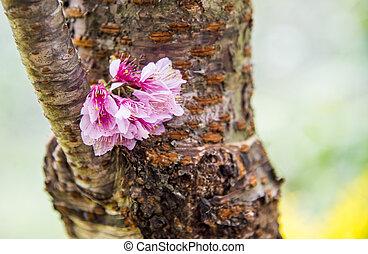 Wild Himalayan Cherry flower on the tree