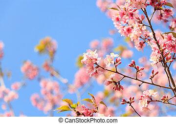 Wild Himalayan Cherry ( Prunus cerasoides ) ( Sakura in Thailand ) at Phu Lom Lo mountain , Loei , Thailand ( blank area at left side )