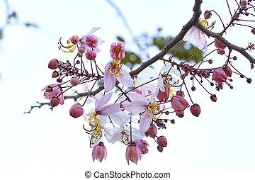 Prunus cerasoides