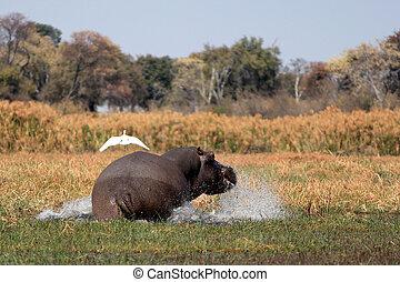 Wild hippopotamus in waterhole, Mahango game park, Namibia