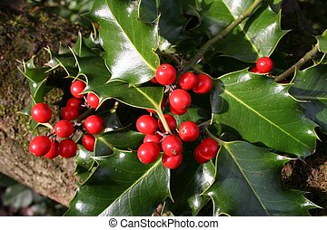 Wild Holly - bright red berries and waxy green leaves of...