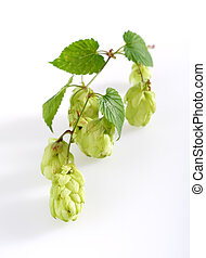 Wild Hop sprout