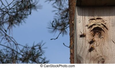 wild hornet wasp flying into wooden bird nesting box in...
