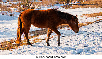 Wild horse at Assateague Island National Seashore, Maryland