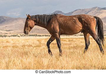 Wild Horse (mustang) in the Desert