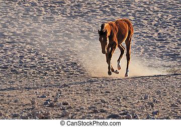 Wild horse of the Namib
