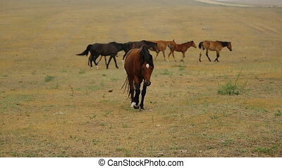 Wild Horses brown slowly walks to the camera in the desert, on the background of the flock, and their leader. horse alone, without human control, without fences and corrals.