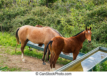 wild horses drinking water