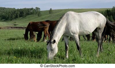 Wild horses graze in a meadow.