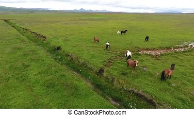 Wild horses graze in the fields of Iceland. Andreev.