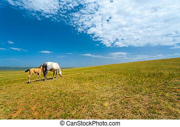 Wild Horses Grazing Grass Mongolia Steppe - Two wild horses...