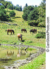 Wild horses in Aran valley, Catalonia, Spain. - Wild horses...
