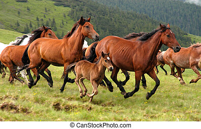 Wild horses in Romanian mountain Rodna....