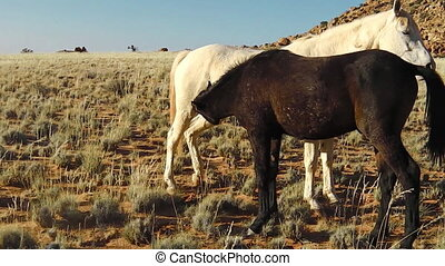 Wild horses, mother and foal in the African savannah of Namibia. Africa.