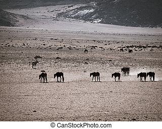 Wild Horses of the Namib desert