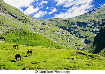 Wild horses on meadow in Himalaya mountains