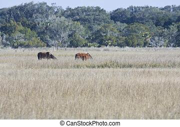 wild horses on salt marsh - wild horses grazing on a salt...