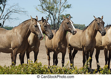 Wild Horses, Pampa, Argentina - Argentinian Horses, Pampa,...
