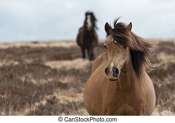 Wild Horses - Pregnant white Welsh wild mountain pony in a...