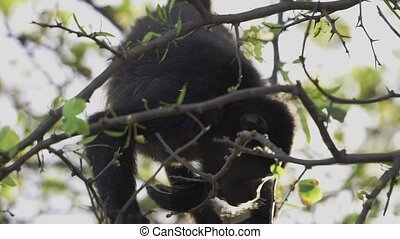 Wild Howler monkey eating leaves to survive - Wild Howler...