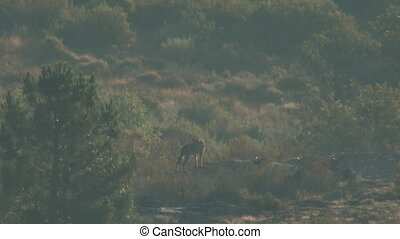 Wild iberian wolf mom with cubs - Super long shot of wild...