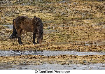 Wild Icelandic horse in spring