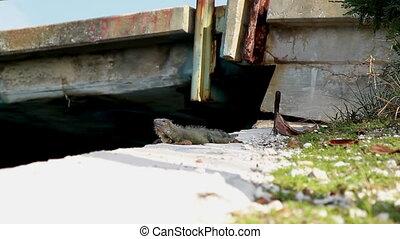 Wild Iguana Florida Keys