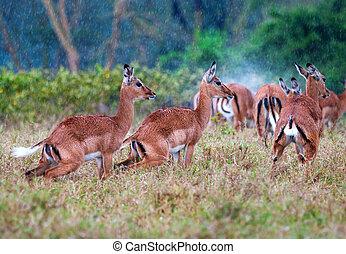 Wild  Impala antelopes during a rain, african savanna