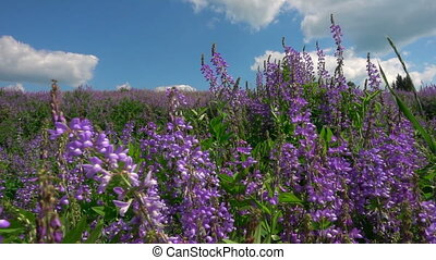 wild in the field Salvia flowers in the background of a beautiful cloudy sky