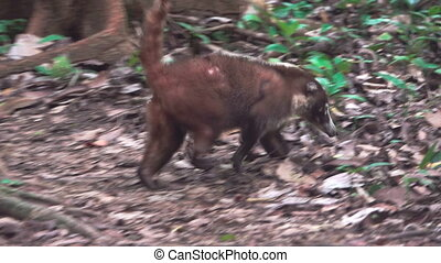Wild injured coati escapes to the forest - Long shot of wild...