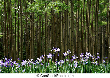 wild iris - and aspen grove