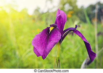 wild, iris, bloem