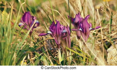 Wild iris flowers swaying in the wind