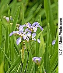 wild, iris