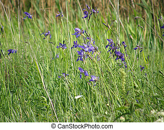 wild, irises., fruehjahr, flowers.