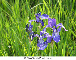 Wild irises. Spring flowers.