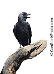 Wild Jackdaw - Corvus monedula on a white background