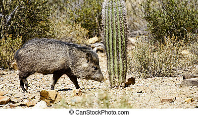 Wild Javalina - A wild animal from the desert of the...
