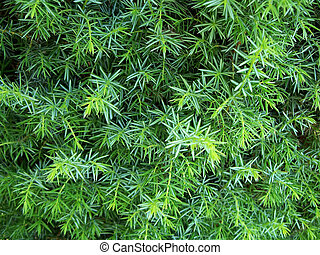 Wild Juniper - Close-up of a juniper bush