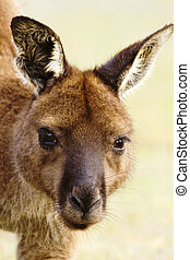 Wild Kangaroo in a Closeup Portrait