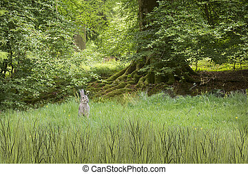 wild, konijnen