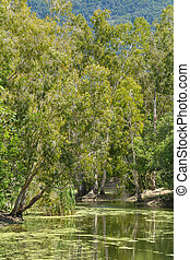 Wild landscape of gum trees grow on a river lagoon in Queensland Australia